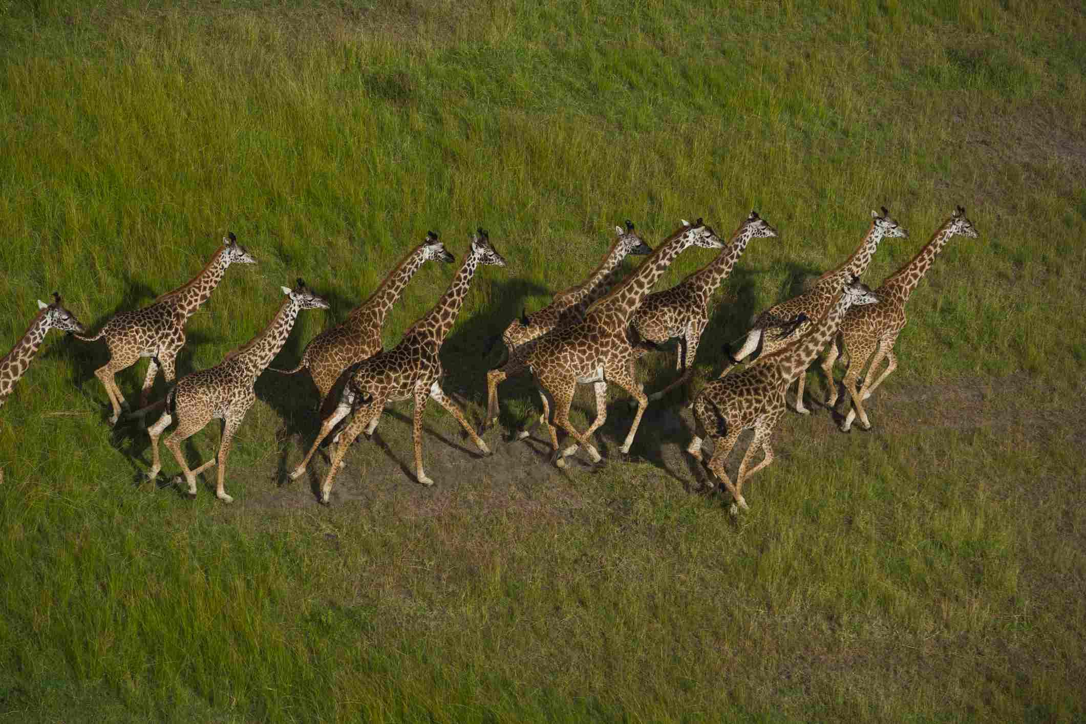 Giraffes, Masai Mara National Reserve, Kenya (1°15' S, 35°15' E).