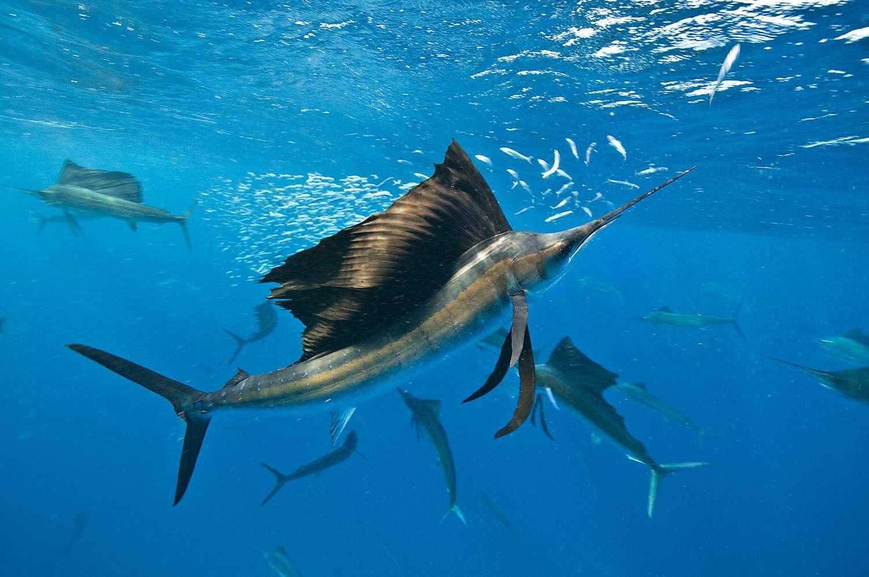 Underwater view of group of sailfish corralling sardine