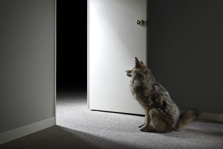 Wolf sitting by doorway