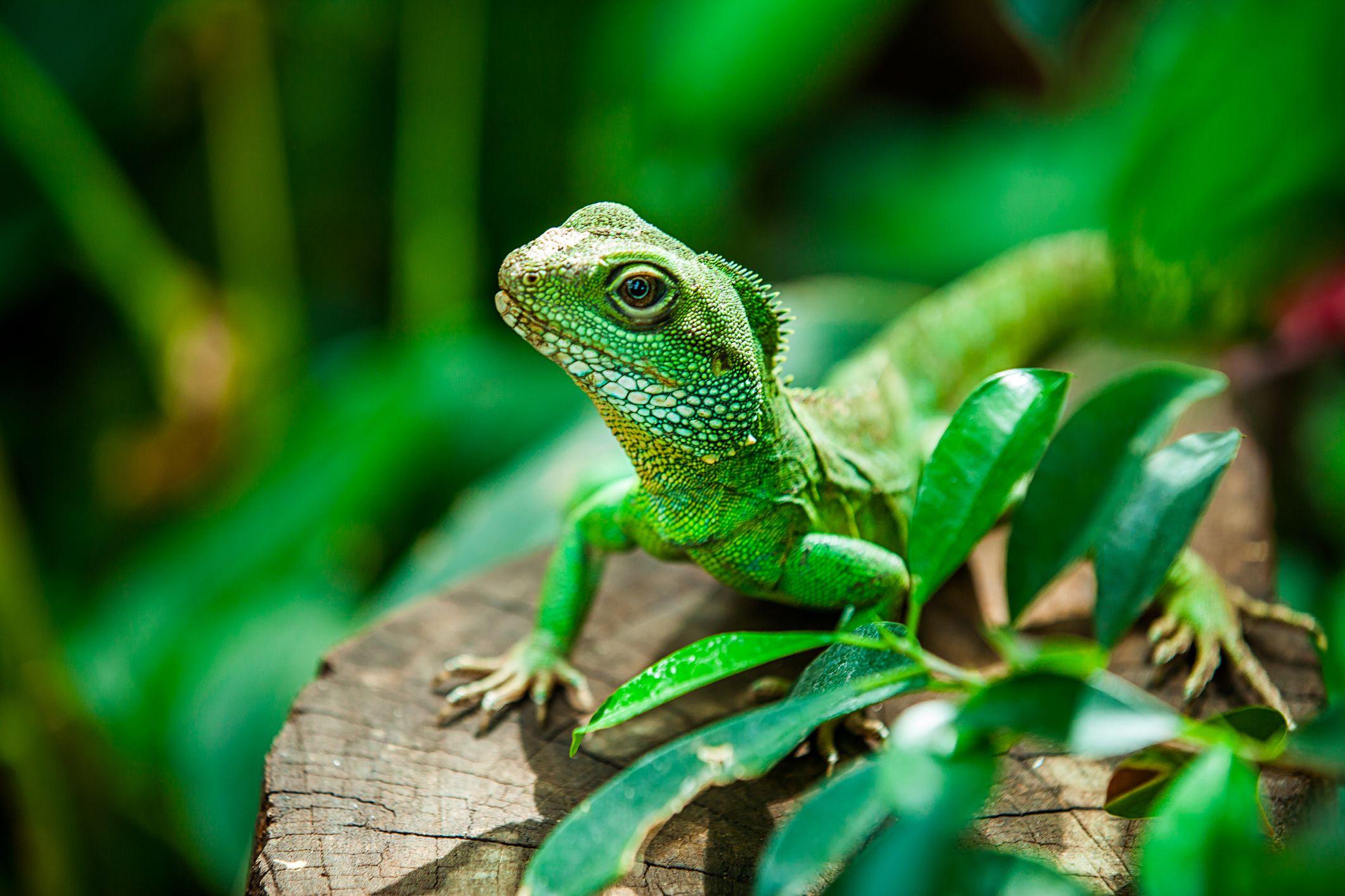 reptiles water dragon characteristics amphibians land chinese fish distinguish similar
