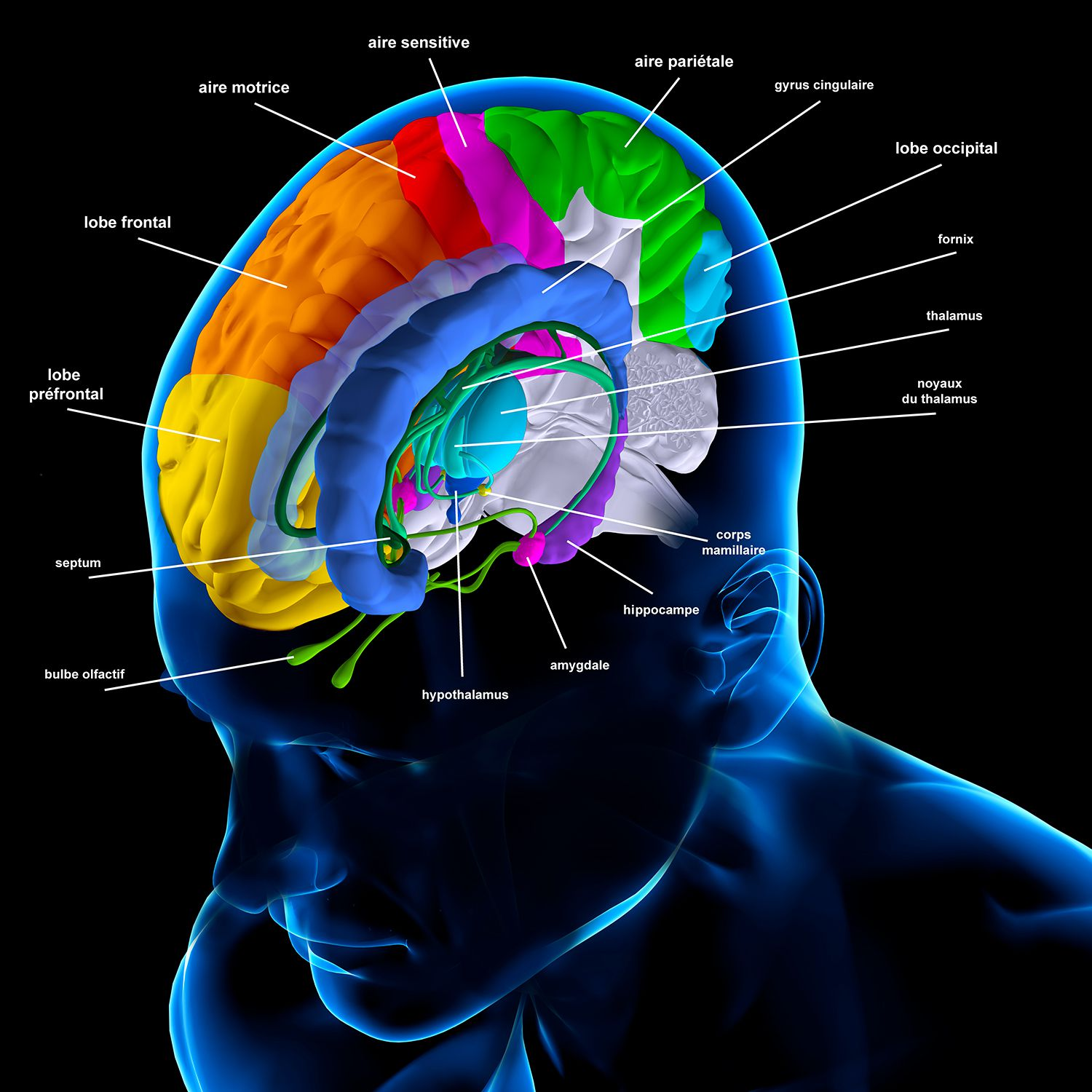 Meninges: Function and Layers, and Health Problems