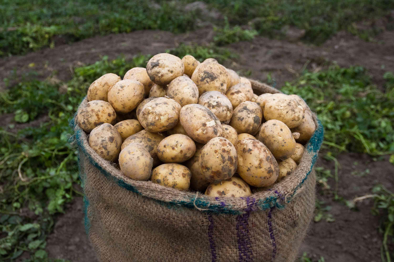 sack of potatoes outside