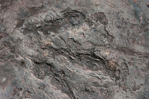 Carnosaur dinosaur footprint from Culpepper, Virginia