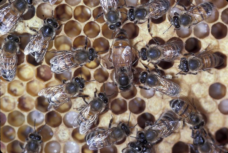 Workers attending to the queen honey bee.