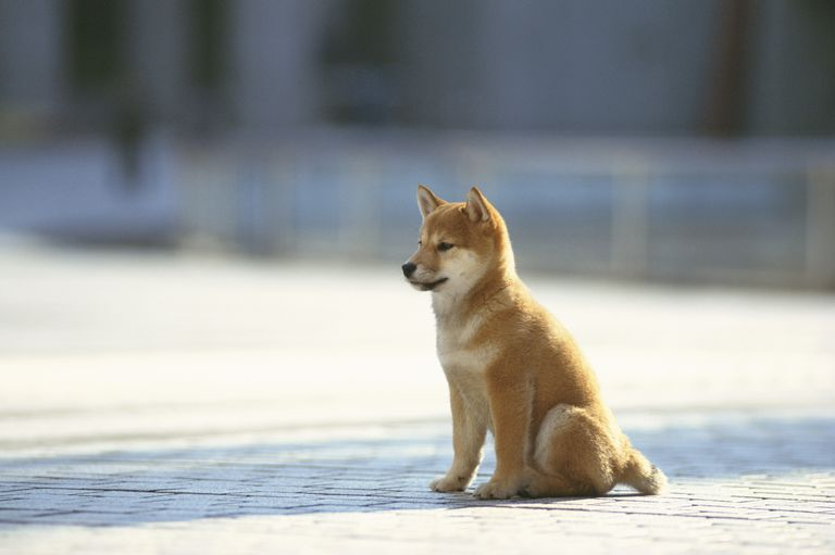 A Japanese shiba inu breed of dog sits calmly