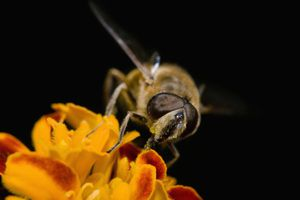 hoverfly and flower