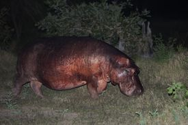 Hippos have red perspiration that looks like blood. The pigment protects them from the sun, like natural sunscreen.