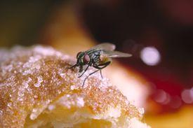 House fly feeding on bread