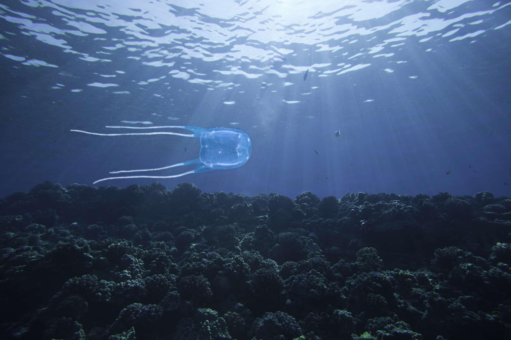 Box Jellyfish in Hawaii