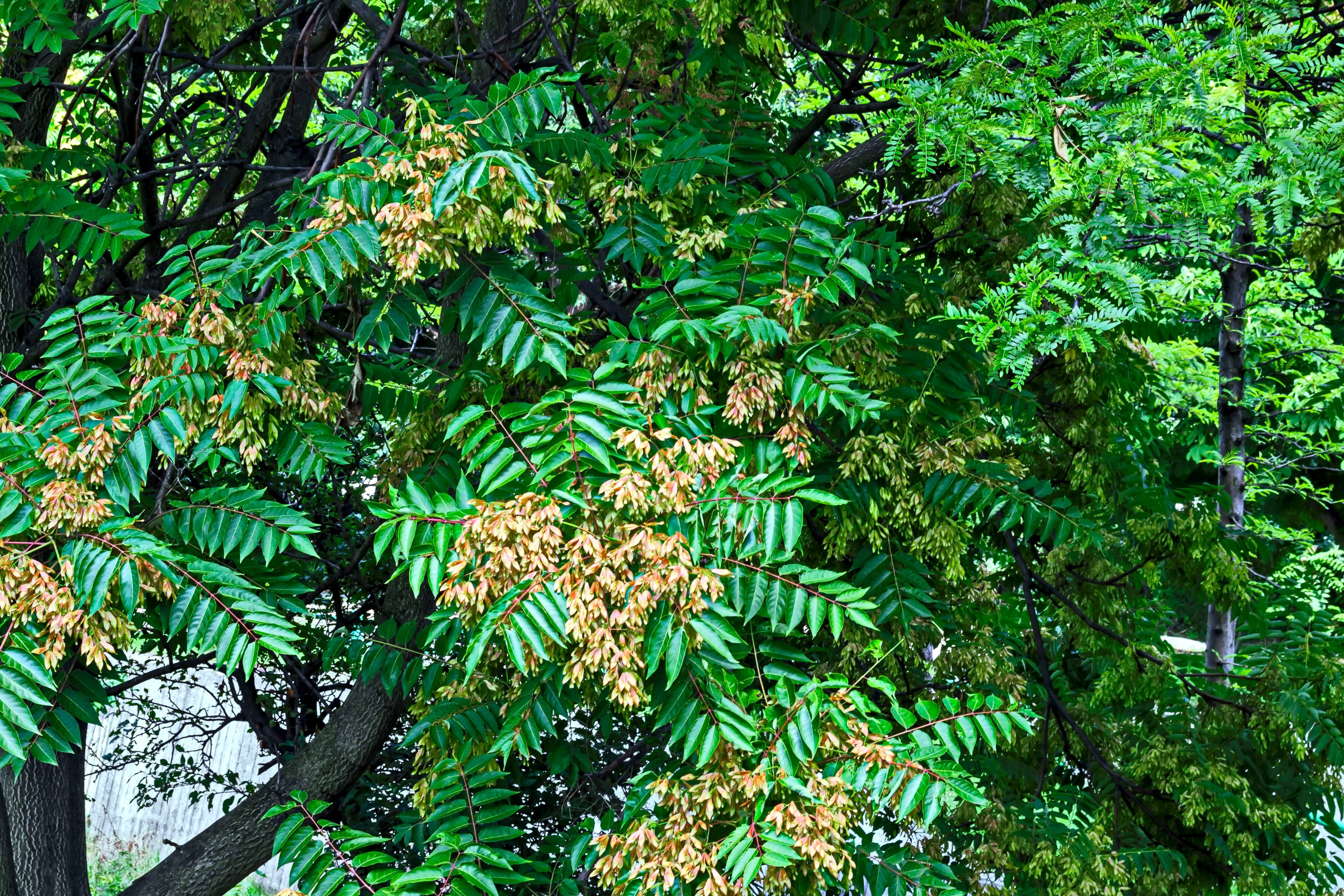 Leaves and red seed at tree of heaven or Ailanthus altissima in Bulgaria