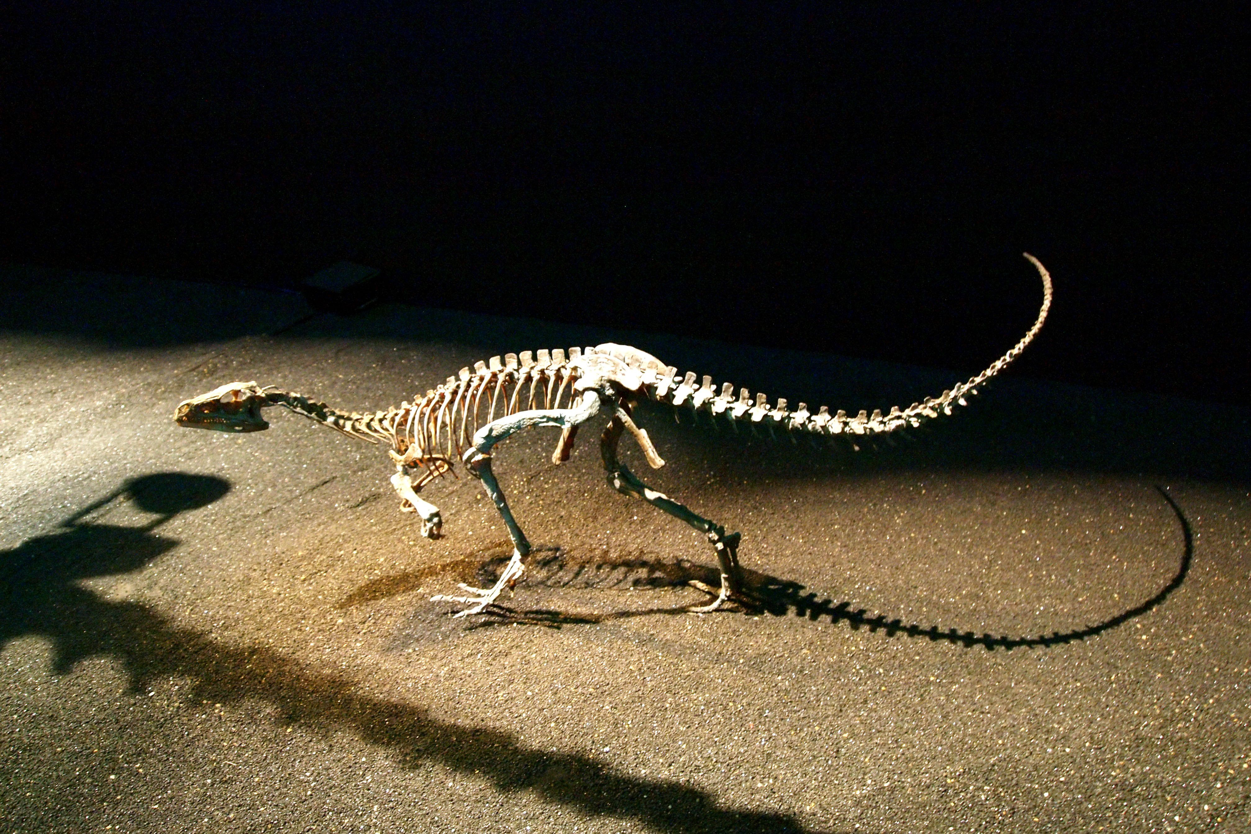 The skeleton of an eoraptor at the Mori Arts center in Japan