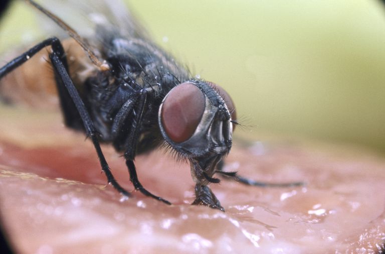 Do Flies Really Vomit and Poop When They Land on You?