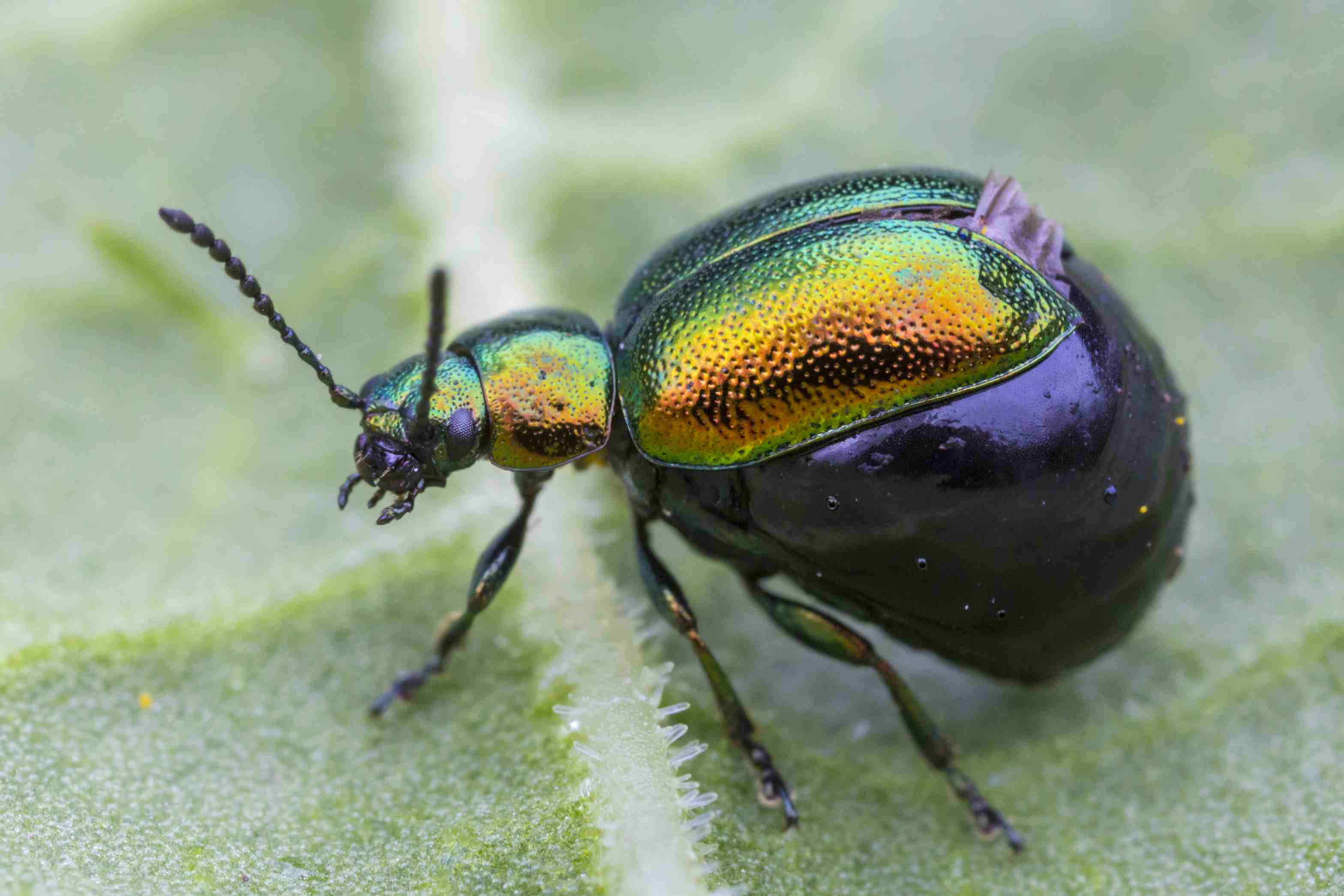 European green dock beetle (<i>Gastrophysa viridula</i>) with a swollen abdomen filled with eggs