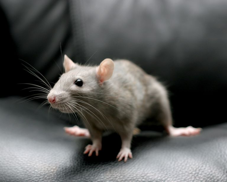 Qualities Of The Rat In Chinese Astrology