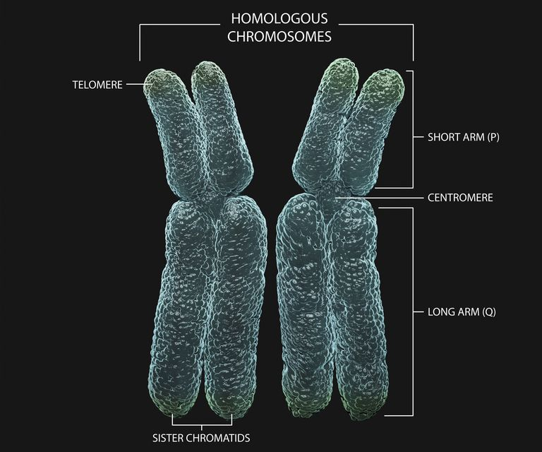 3D diagram describing the different parts of homologous chromosomes.