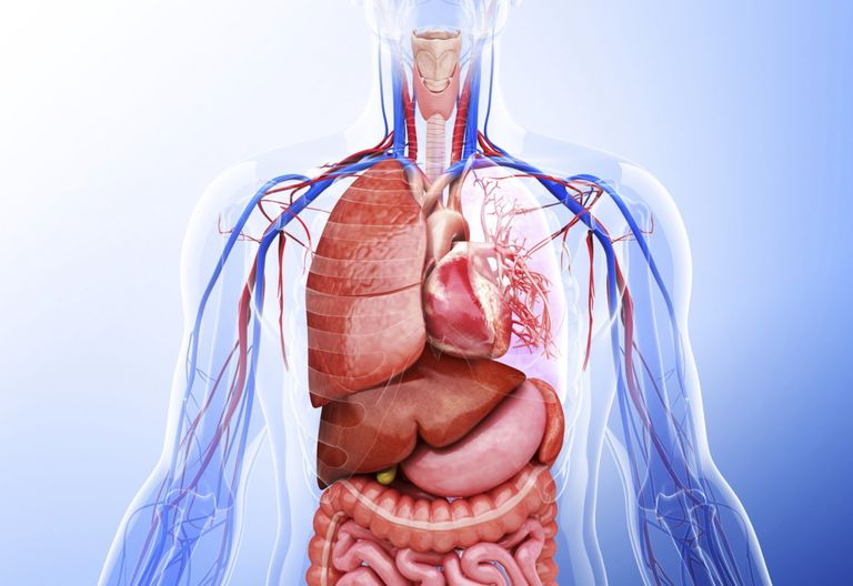 Organ Systems of the Body Quiz