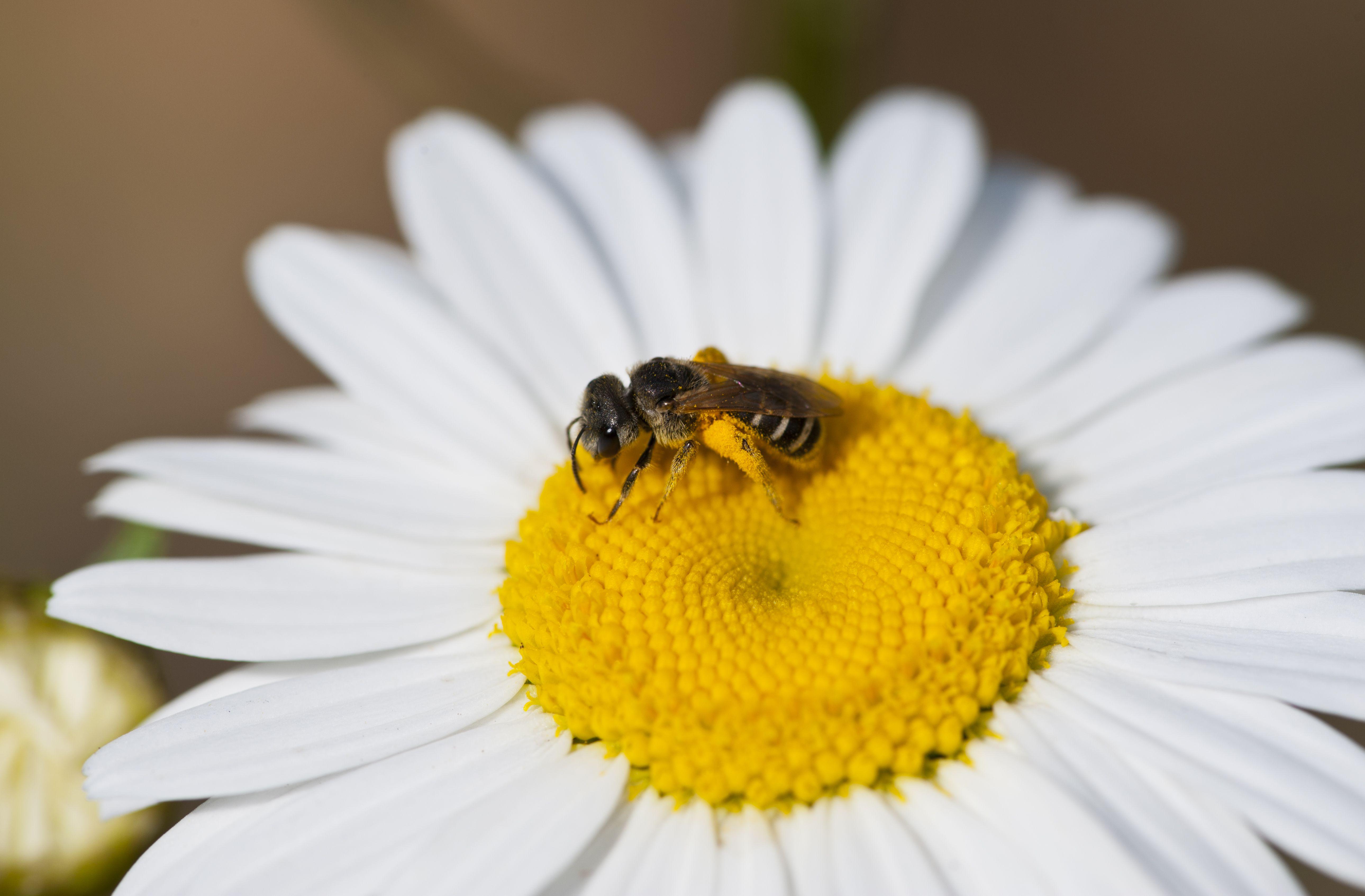 Sweat Bee (Halictus sp) collecting pollen on daisy