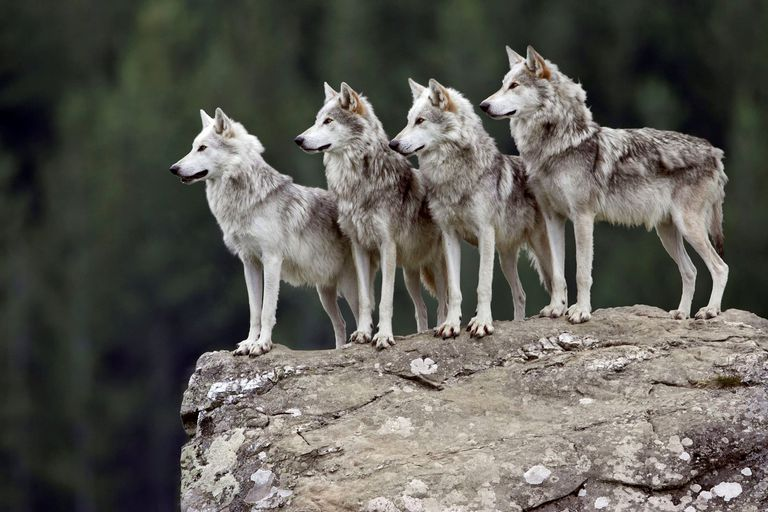 Wolves on a rock