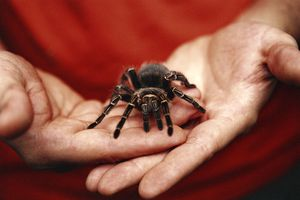 Tarantula in man's hands.
