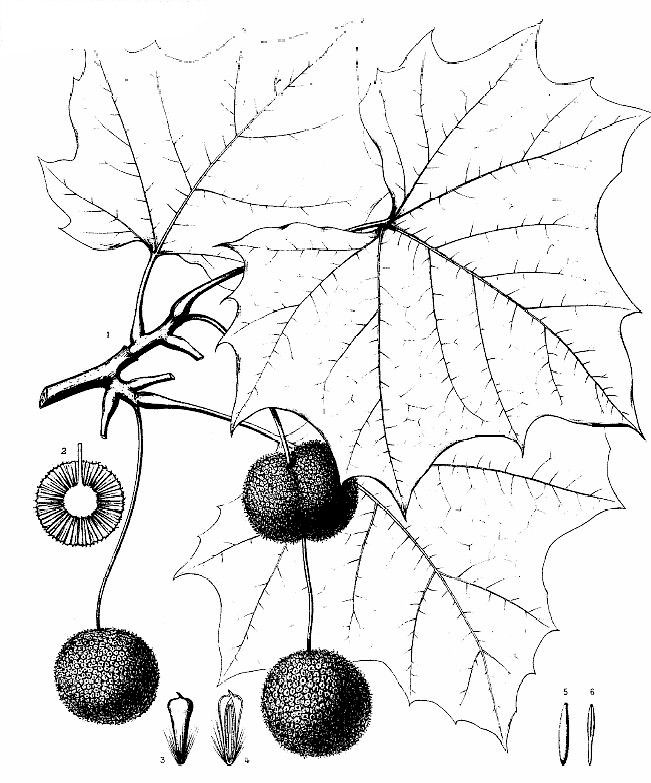 Sycamore - Identification Plate