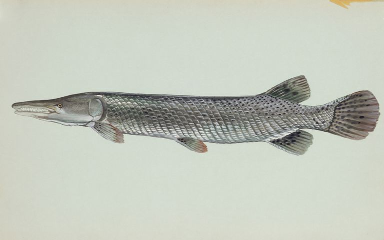Facts About The Life And Behavior Of Alligator Gar