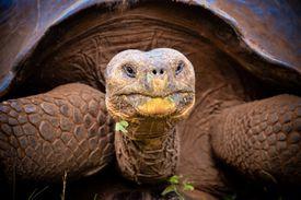 Galapagos giant tortoise - Geochelone elephantopus
