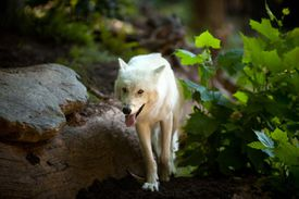 Grey Wolf in an enclosure