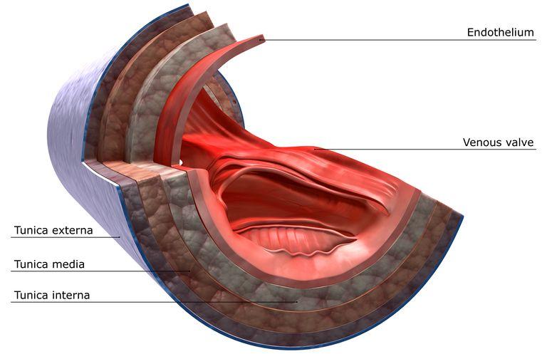 Venae Cavae Anatomy - Superior and Inferior