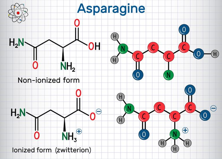 Asparagine (L-asparagine , Asn, N) amino acid molecule. Ionized and non-ionized (zwitterion) forms. Structural chemical formula and molecule model.