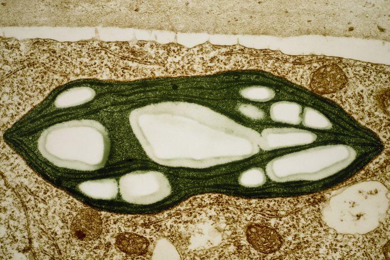 Moss Chloroplast