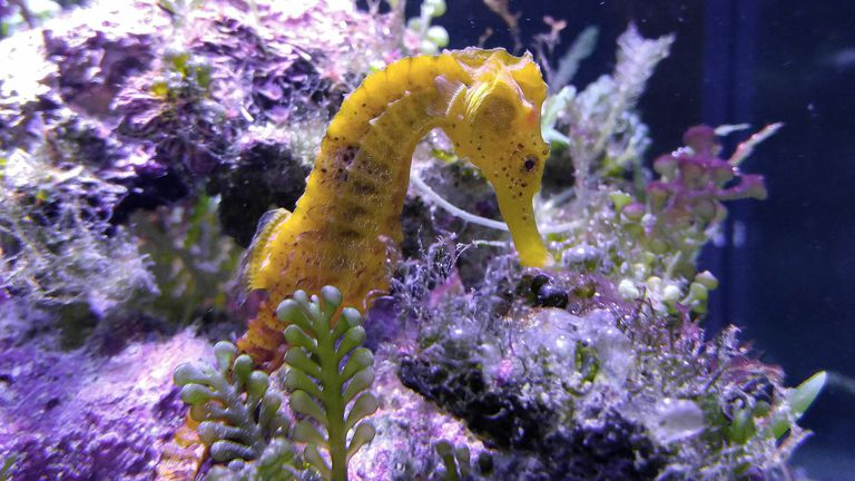 Close-Up Of Sea Horse In Tank At Aquarium