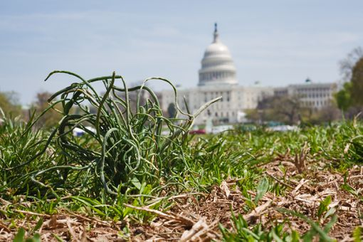 US capitol building with grass plant in the foreground symbolizing grassroot political movements.