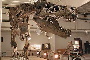man looking at t rex skeleton