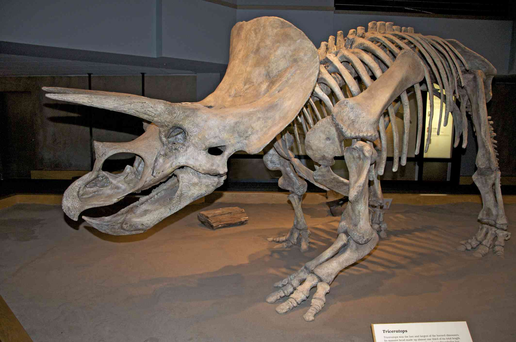 Triceratops horridus skeleton on display at the Royal Tyrrell Museum in Alta, Canada