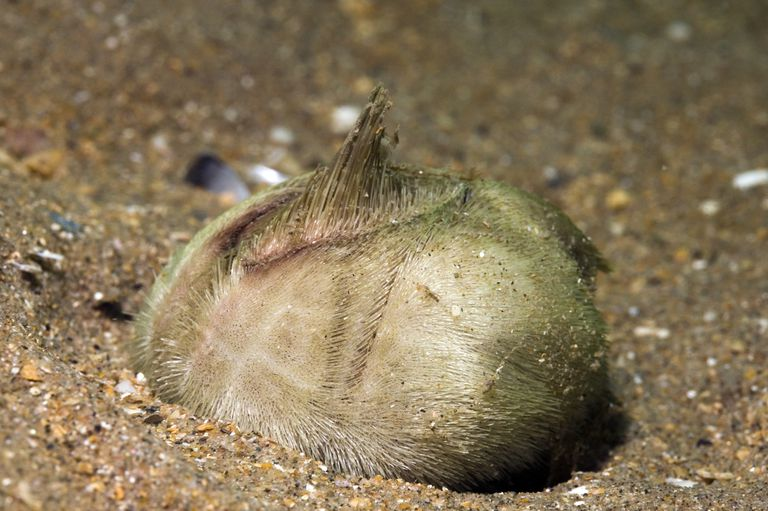 Heart urchin in sand