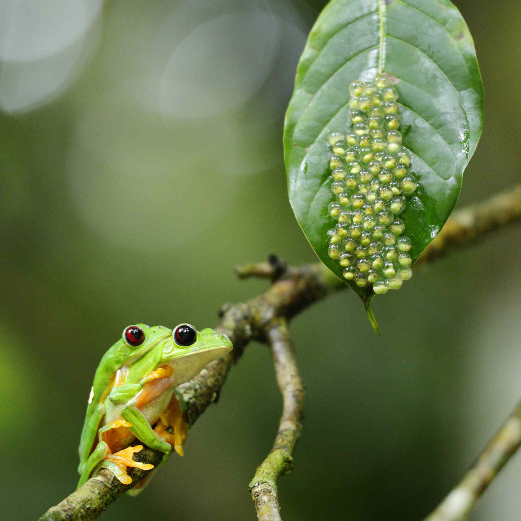 Tree frogs lay their eggs on leaves over water. The tadpoles fall into the water when they hatch.