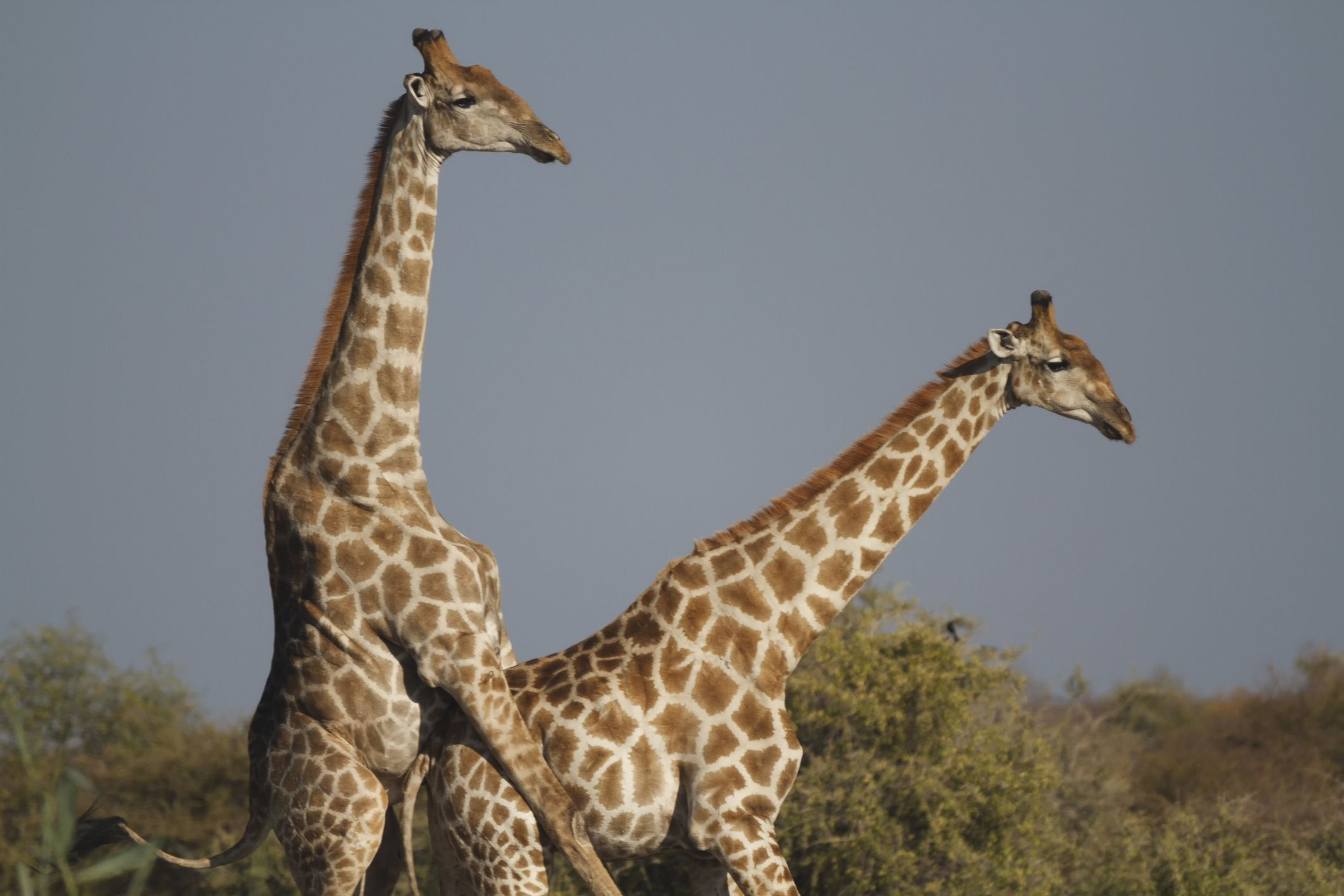 10 fun facts about giraffes