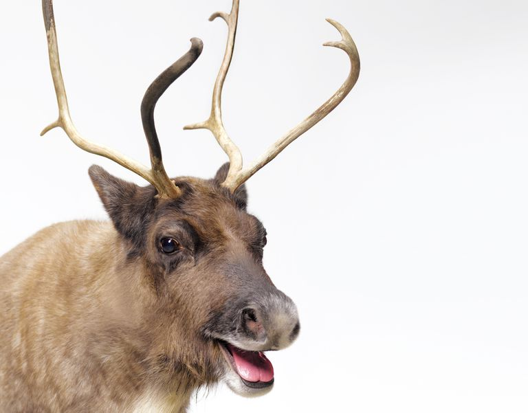 A-Z of all things Christmas - Page 2 Santa-reindeer-56a9a2995f9b58b7d0fd8fd0