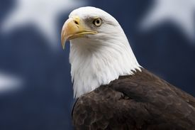 The bald eagle is an American national emblem.