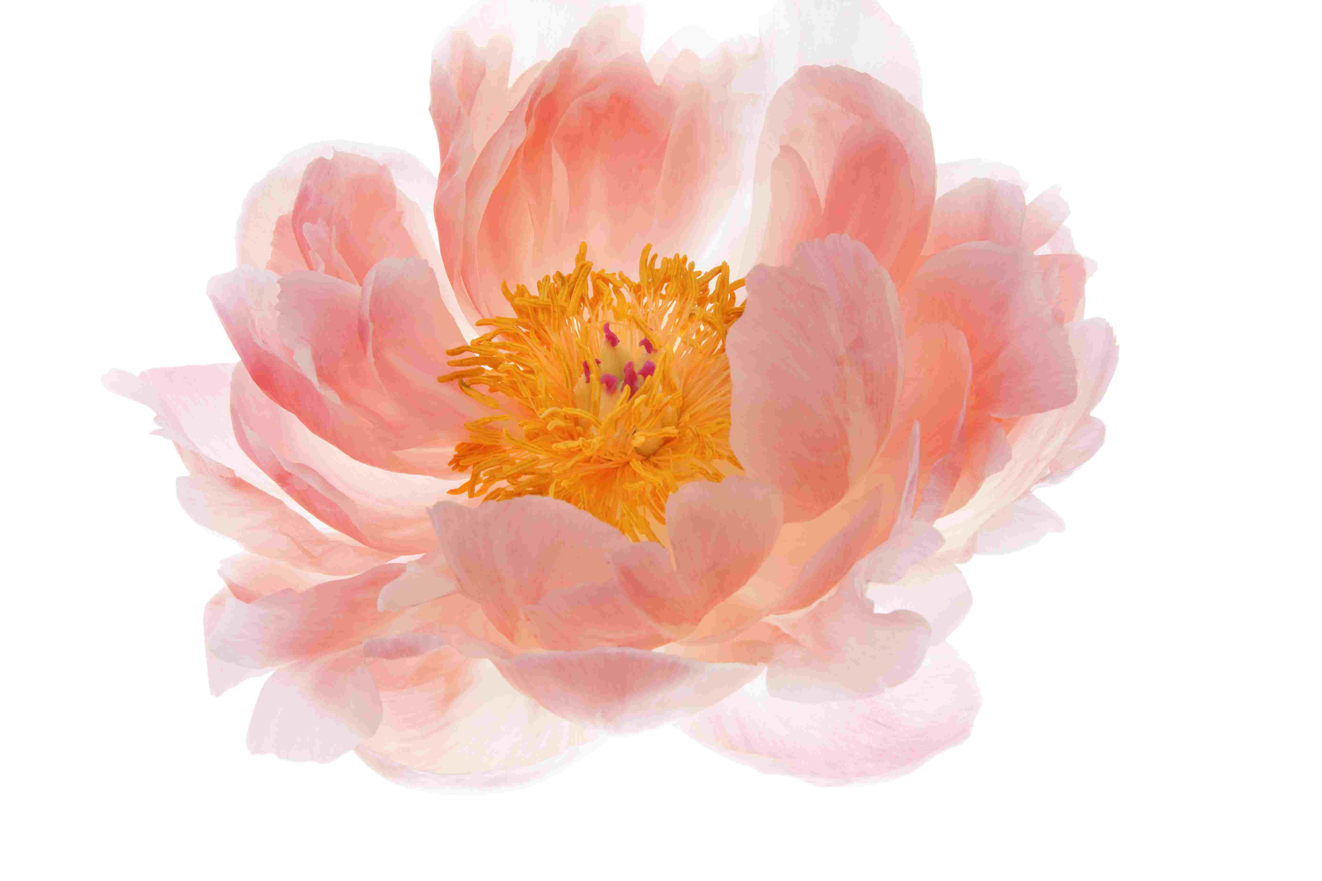 Peony, perfect bloom