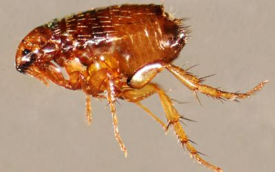 What Attracts Bedbugs to Human Environments?
