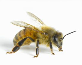 honey bee close-up photo