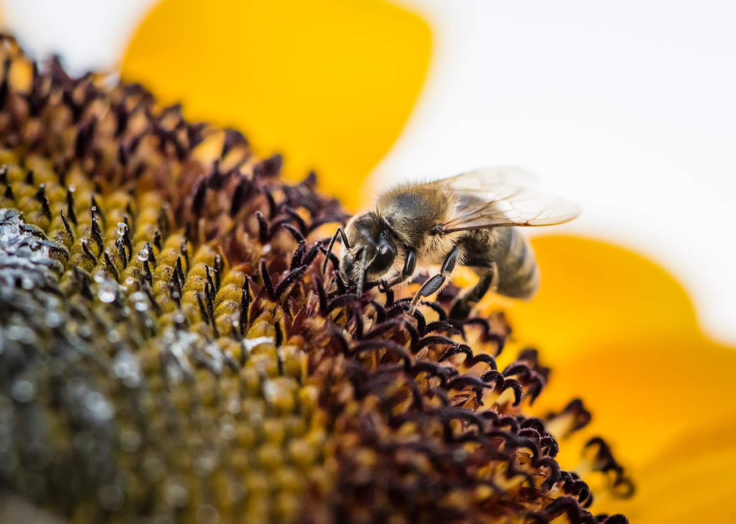 Extreme close-up of bee on sunflower