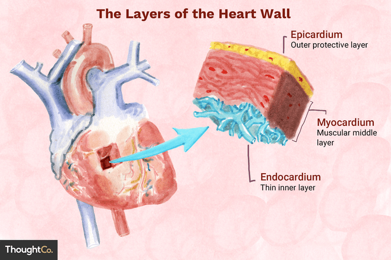 Layers of the heart wall illustration