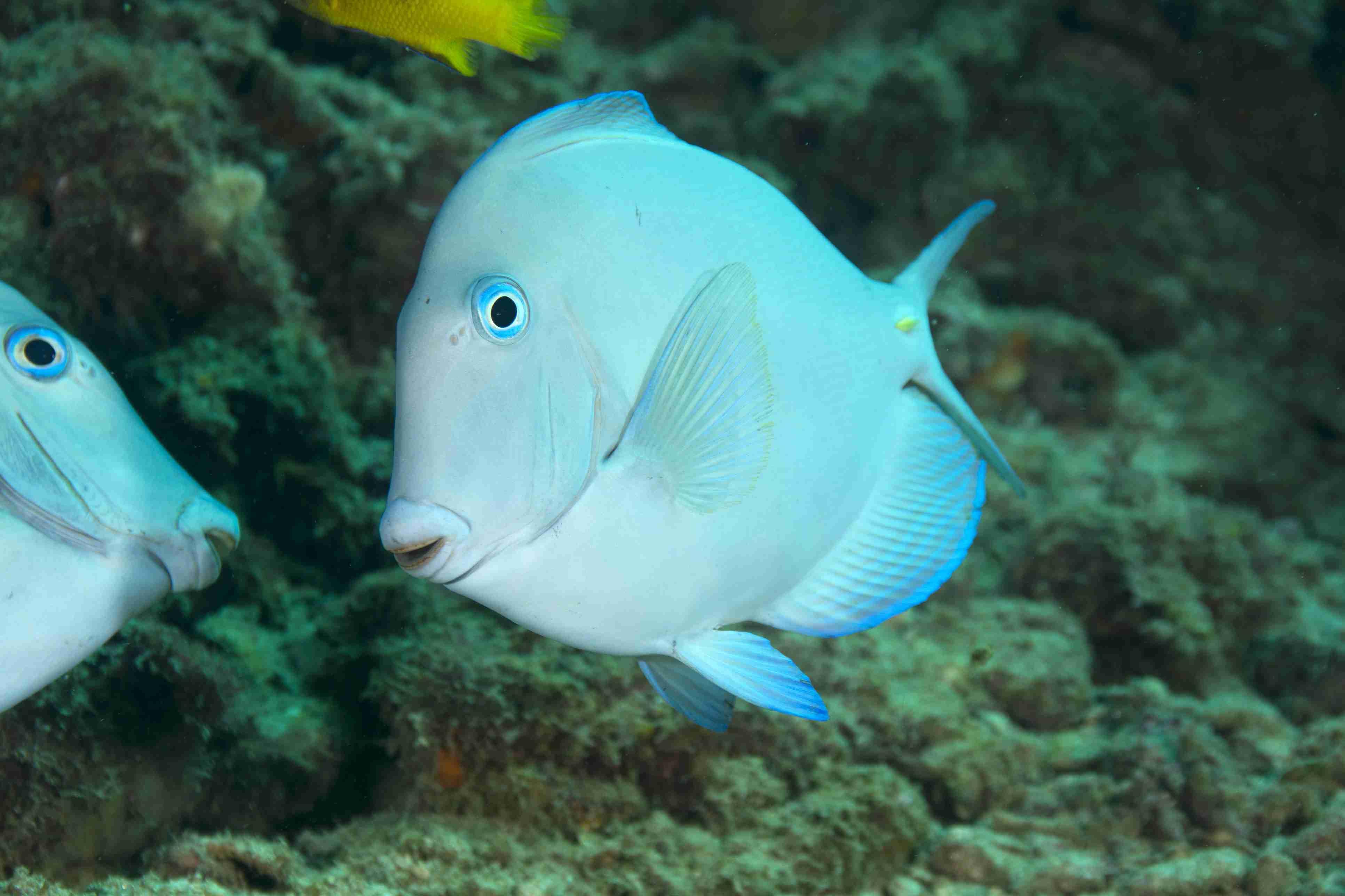 Blue Tang Facts: Habitat, Diet, Behavior