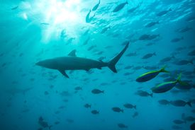 Spinner shark, Carcharhinus brevipinna, swims with school of reef fishes