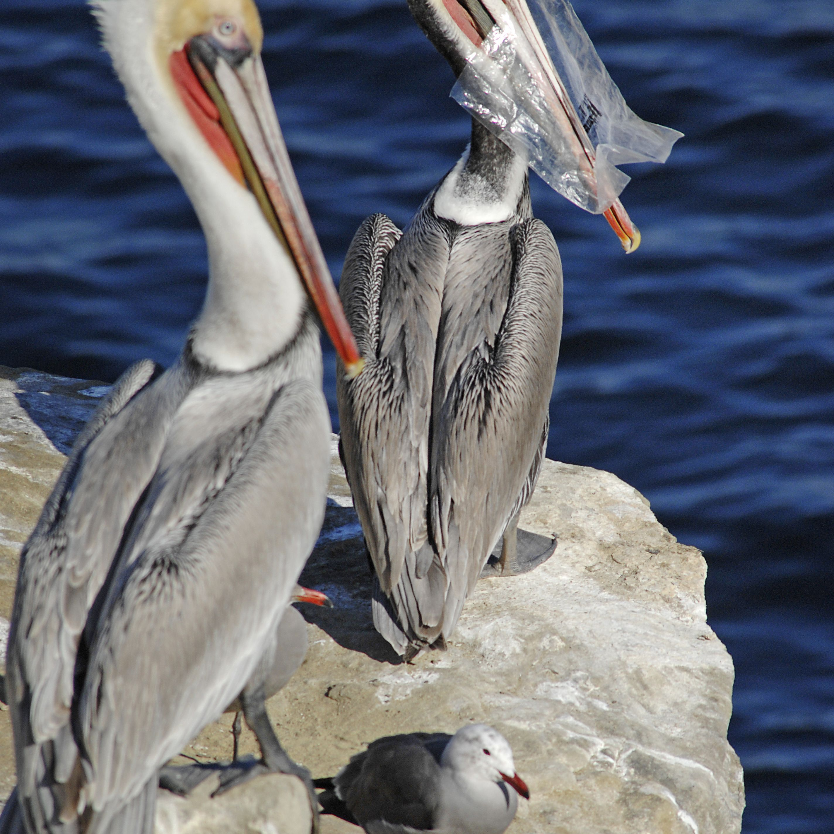 Pelican with plastic bag in its bill
