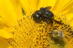 Carpenter bee and Carder Bumblebee on a Sunflower