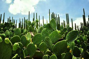 Cacti in the Ethnobotanical Garden in Oaxaca