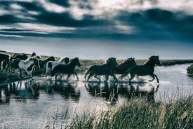 Group of Horses crossing a river.
